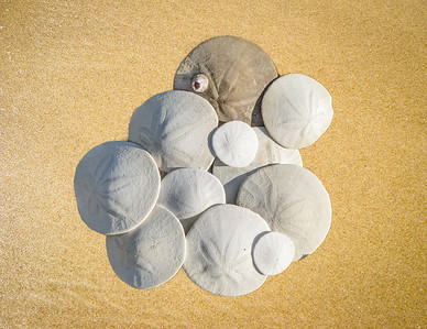 Sand dollars collected on the beach at Oceano Dunes