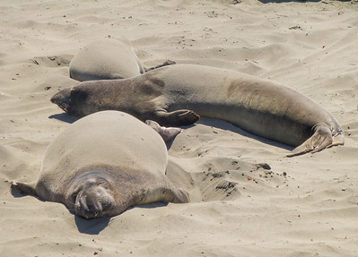 Young elephant seals at the Rookery