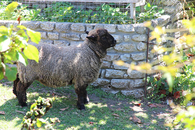 Shawn, a sheep belonging to our party's host, Michael Hamman.  He gets along well with everyone including the nearby chickens.
