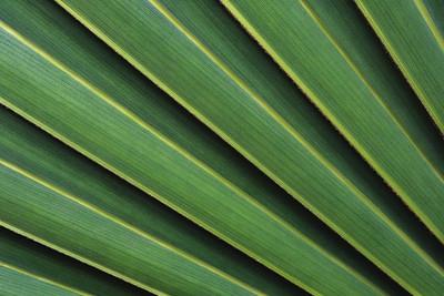 Palmetto frond