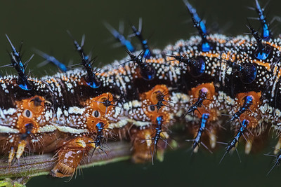 Common buckeye butterfly caterpillar