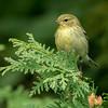 Paruline rayée, Blackpoll warbler