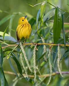 Paruline jaune, Yellow warbler,