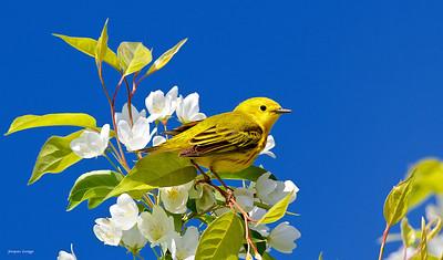 Paruline jaune, Boisé Langevin le 15 mai 2013.