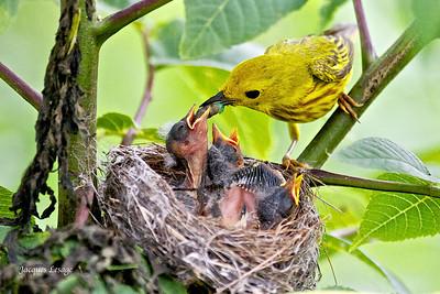 Paruline jaune et ses petits - Parc de la Frayère le 26 juin 2011