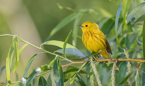 Paruline jaune, Yellow warbler.