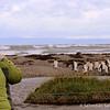 King Penguins of Tierra del Fuego
