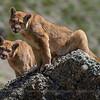 Puma, Puma concolor patagonica. Torres del Paine National Park, Chile