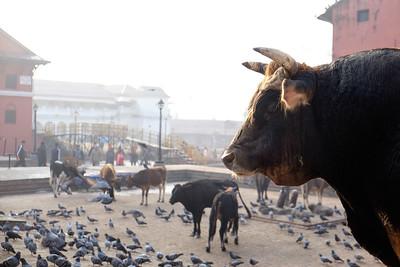 Shiva's bull