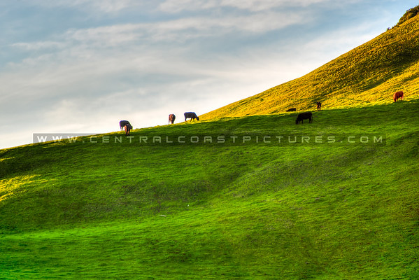 hwy 46 hills cows 9951-