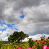 vineyard-roses-devolt_3732