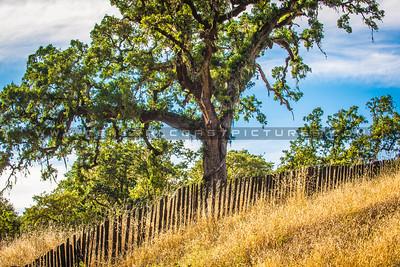 oak tree-2221