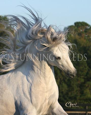 Paso Fino Horses