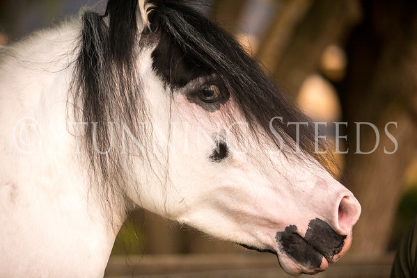 Cibuco de Fantasy -homozygous pinto paso fino stallion