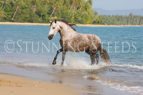 Various Horses of Puerto Rico