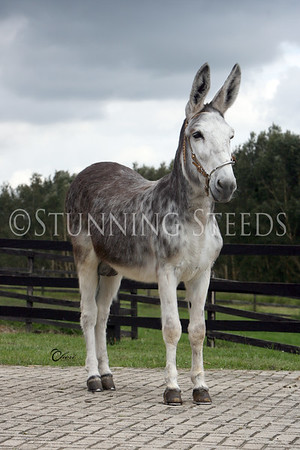 Carolo (mule)