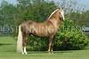 Bolero de Sierra Morena (Trote y Galope stallion)