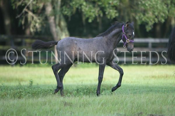 gray foal