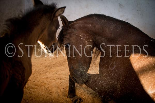 Dulce Sueno x Gocetona Foal Feb 2014