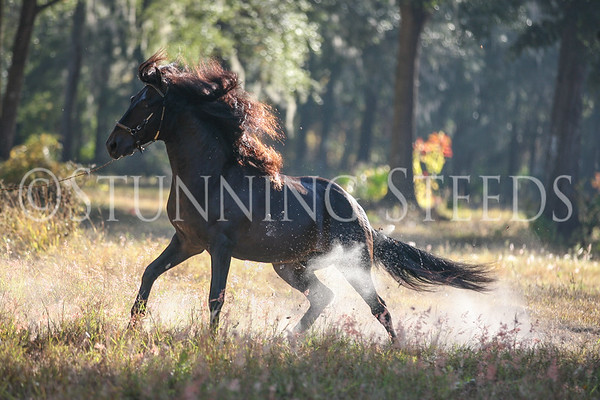 A-H - United Paso Fino Show Horses