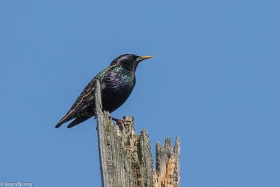 Common Starling ~ Stær