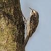 Treecreeper - Træløber