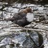 White-throated Dipper - Vandstær