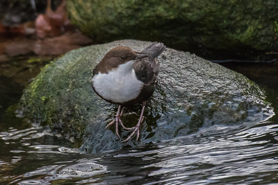 White-throated Dipper - Vandstær