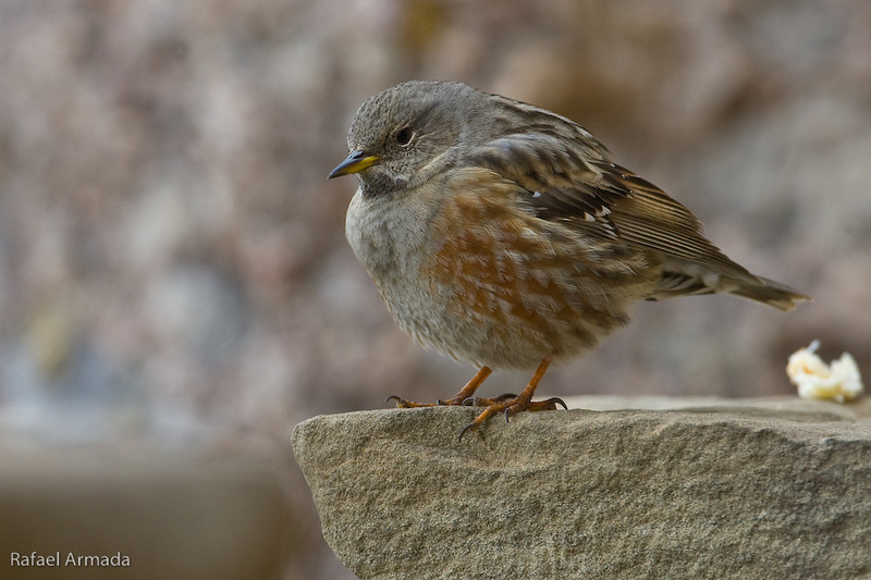 Alpine Accentor (Prunella collaris collaris).<br /> Collbató (Barcelona, Catalonia, Spain), January 2010.<br /> Esp: Acentor alpino<br /> Cat: Cercavores