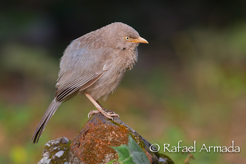 Jungle Babbler (Turdoides striata).<br /> Corbett NP (India), November 2010.