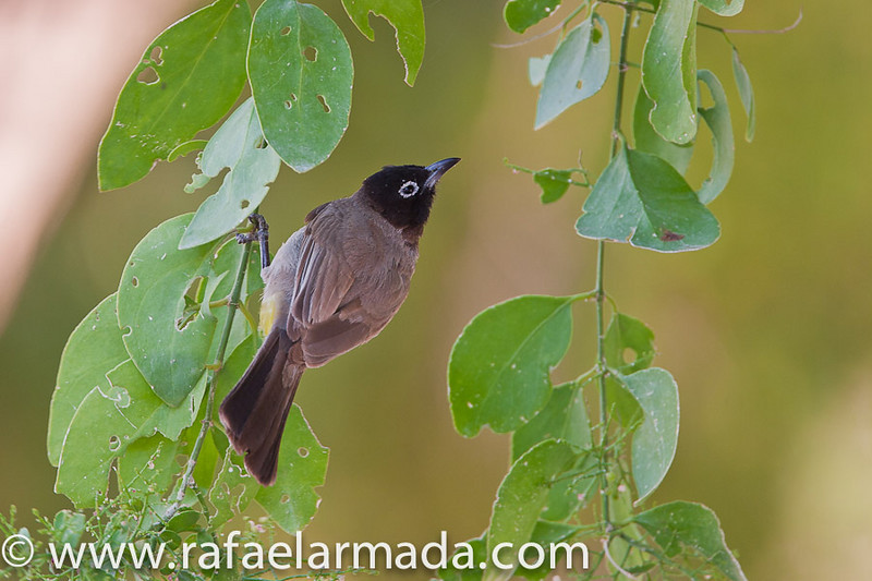 White-spectacled Bulbul (Pycnonotus xanthopygos). En Gedi (Israel), April 2006.