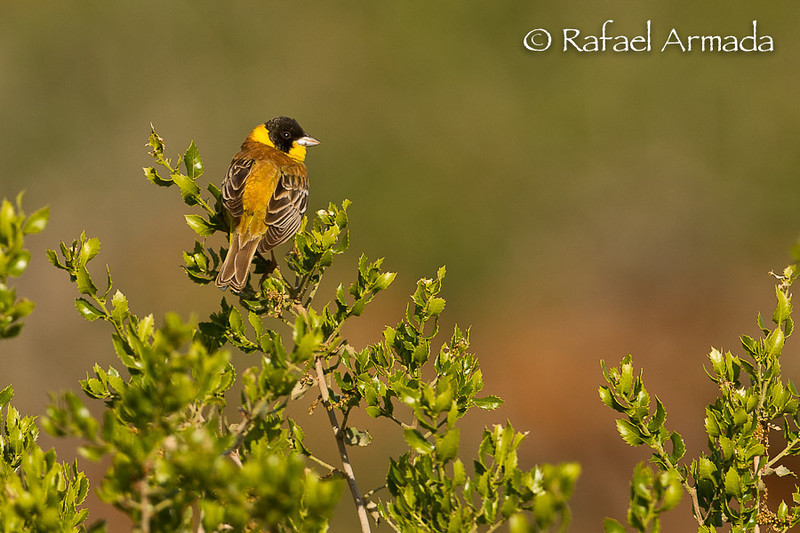 Black-headed Bunting (Emberiza melanocephala), male. Gaziantep (Turkey), May 2008.<br /> Esp: Escribano cabecinegro<br /> Cat: Sit capnegre
