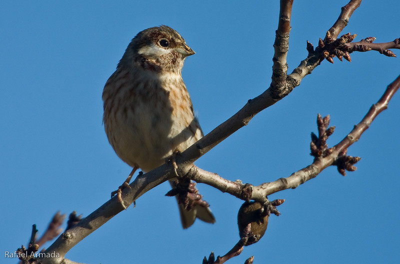 Pine Bunting (Emberiza leucocephalos), 1st Winter Male.<br /> Aspa (Lleida, Catalonia, Spain), January 2009.<br /> Esp: Escribano de Gmelin<br /> Cat: Sit carablanc