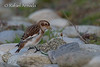 Snow Bunting (Plectrophenax nivalis)<br /> Ouessant (France), October 2004.<br /> Esp: Escribano nival<br /> Cat: Sit Blanc
