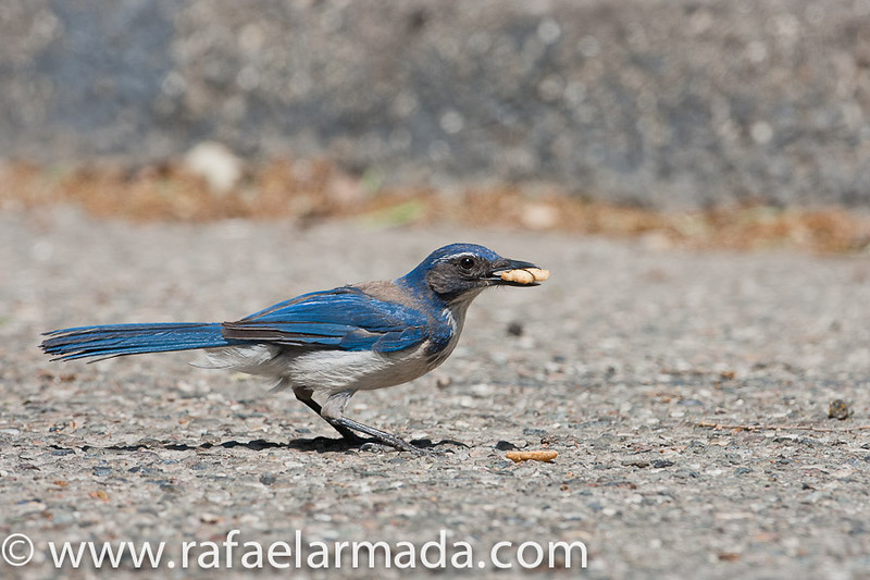 Western Scrub-Jay (Aphelocoma californica).<br /> Los Alamos (California, USA), April 2009.