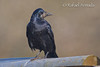 Rook (Corvus frugilegus).<br /> Slimbridge (Glos., England, UK), December 2008.<br /> Esp: Graja<br /> Cat: Graula