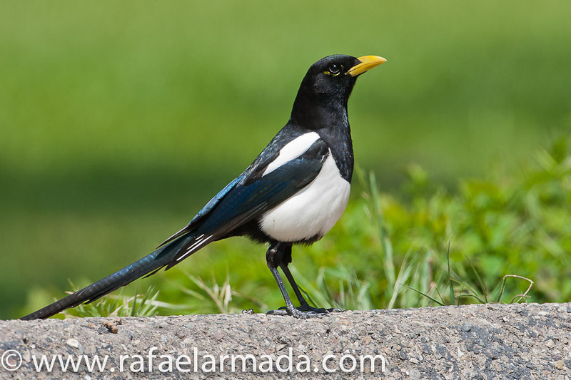 Yellow-billed Magpie (Pica nuttalli).<br /> Los Alamos (California, USA), April 2009.