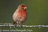 House Finch (Carpodacus mexicanus), adult male.<br /> Los Alamos (California, USA), April 2009.