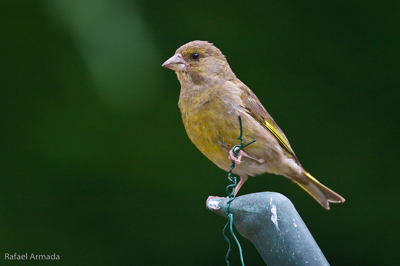Greenfinch (Chloris chloris).<br /> Wotton-under-edge (Glos., England), August 2006.<br /> Esp: Verderón<br /> Cat: Verdum