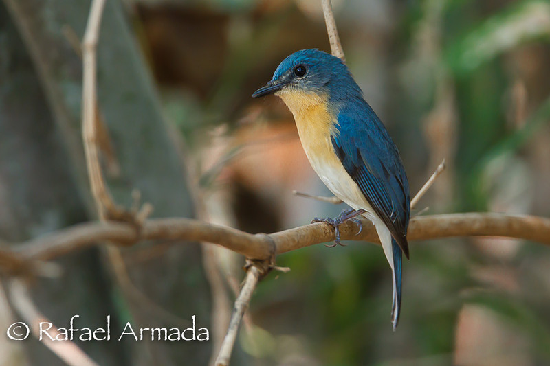 Tickell's Blue Flycatcher (Cyornis tickelliae).<br /> Bandhavgarh (Madhya Pradresh, India), November 2010.