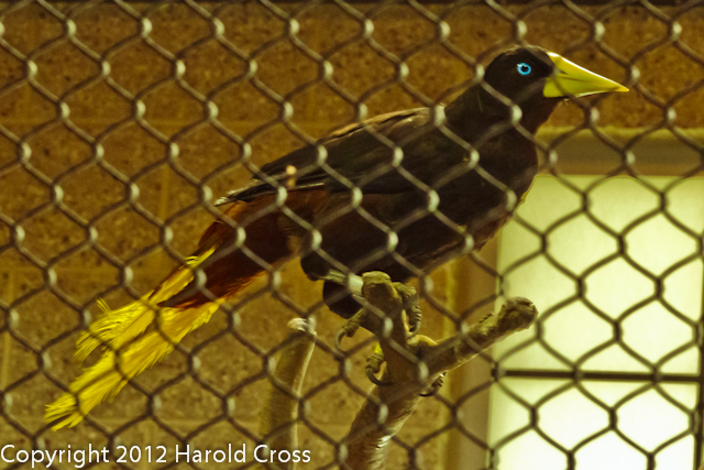 A Crested Oropendola taken Jun. 27, 2012 in Salt Lake City, UT.