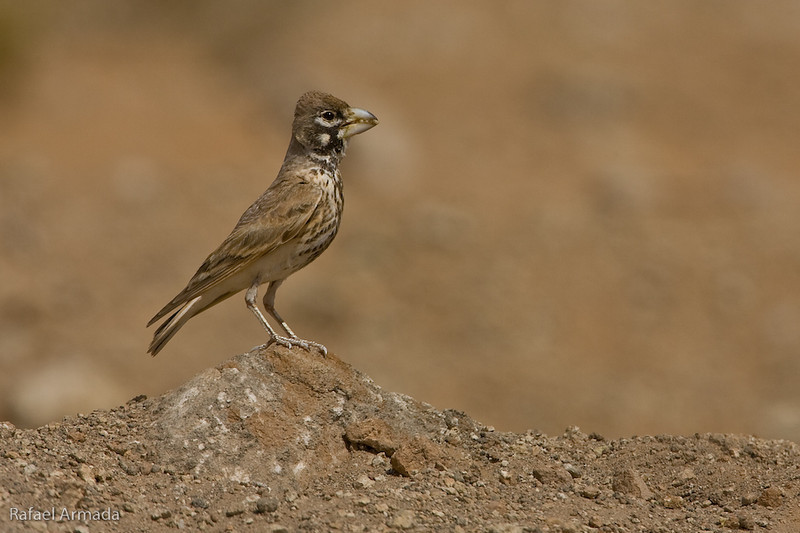 Thick-billed Lark (Ramphocoris clotbey). Aoussard (Western Sahara), April 2007.<br /> Esp: Calandria picogruesa