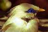 A Bali Mynah taken Feb. 25, 2012 in Tucson, AZ.
