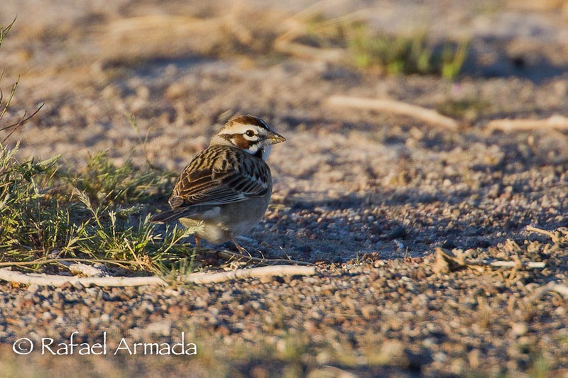 Lark Sparrow (Chondestes grammacus).<br /> Nevada (USA), April 2009.<br /> Esp: Chingolo arlequín