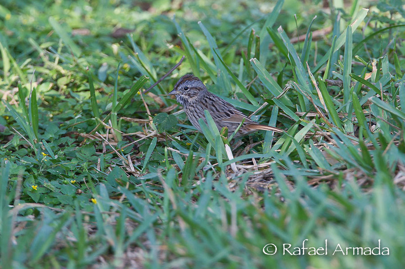 Lincoln's Sparrow (Melospiza lincolnii).<br /> South Padre Island (Texas, USA), March 2012.