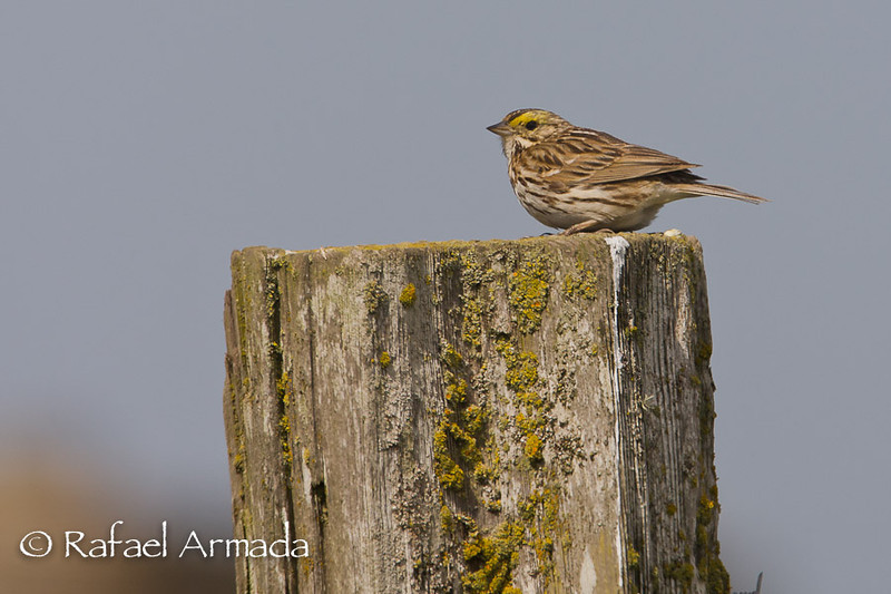 Savannah Sparrow (Passerculus sandwichensis).<br /> Point Reyes (California, USA), April 2009.<br /> Esp: Gorrión pratense