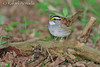 White-throated Sparrow (Zonotrichia albicollis).