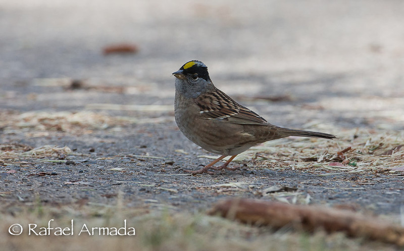 Golden-crowned Sparrow (Zonotrichia atricapilla).<br /> Oceano (California, USA), April 2009.