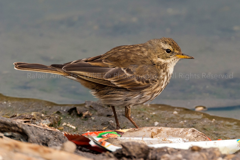 Water Pipit (Anthus spinoletta spinoletta)