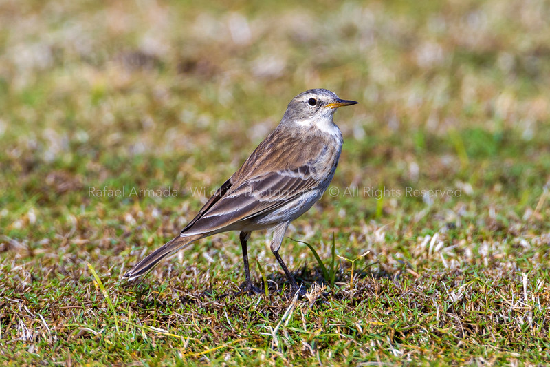 Water Pipit (Anthus spinoletta coutellii)